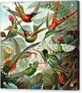 1899 Hummingbird Species Art Forms Of Nature Print Acrylic Print