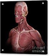 Facial Muscles Acrylic Print