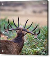 Majestic Powerful Red Deer Stag Cervus Elaphus In Forest Landsca Acrylic Print