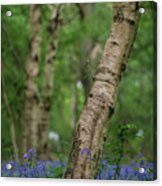 Shallow Depth Of Field Landscape Of Vibrant Bluebell Woods In Sp Acrylic Print