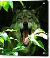 The Wild Wolve Group A Acrylic Print