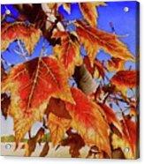 #199 Red Maple Acrylic Print