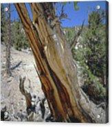 1n6956 Methuselah Tree Acrylic Print