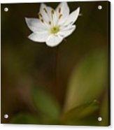 Arctic Starflower Acrylic Print