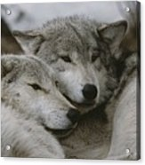 A Couple Of Gray Wolves, Canis Lupus Acrylic Print by Jim And Jamie Dutcher