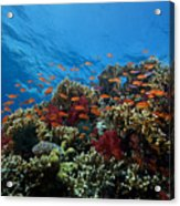 A School Of Orange Basslets Acrylic Print by Terry Moore
