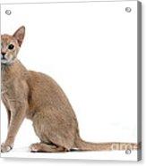 Abyssinian Kitten Acrylic Print