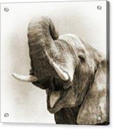 African Elephant Closeup Square Acrylic Print