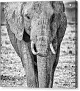 African Elephants In The Masai Mara Acrylic Print