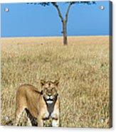 African Lioness Panthera Leo, Serengeti Acrylic Print