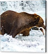 Alaska Brown Bear Acrylic Print
