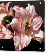 Amaryllidaceae Hippeastrum Amorice Acrylic Print
