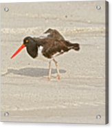 American Oystercatcher, Haematopus Palliatus,  Looking For Food  Acrylic Print
