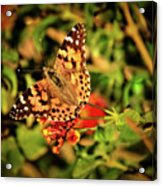 American Painted Lady Acrylic Print