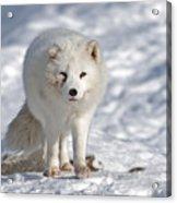 Arctic Fox... Acrylic Print