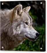 Arctic Wolf Portrait Acrylic Print by Michael Cummings
