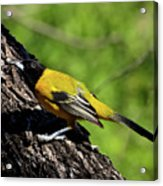 Audubon Oriole Acrylic Print