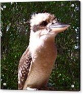 Australia - Kookaburra Full Body Look Acrylic Print
