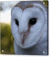 Australian Barn Owl Acrylic Print