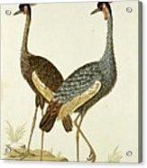Balearica Regulorum Grey Crowned Crane, Robert Jacob Gordon, 1777 - 1786 Acrylic Print
