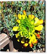 Succulent Study 2 Acrylic Print