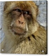 Barbary Macaque Looking Away In Annoyance Acrylic Print
