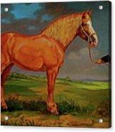 Belgian Draft Horse. Acrylic Print