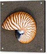 Bellybutton Nautilus - Nautilus Macromphalus Acrylic Print