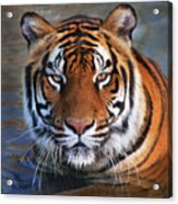 Bengal Tiger Laying In Water Acrylic Print
