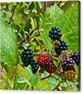 Berries In Vicente Perez Rosales National Park Near Puerto Montt-chile  Acrylic Print