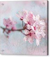 Black Cherry Plum Blossom Acrylic Print