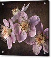 Blackberry Flowers Acrylic Print