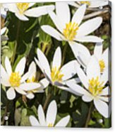 Bloodroot Flowers 2 Acrylic Print