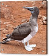 Blue-footed Booby Acrylic Print