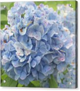 Blue Hydrangea At Rainy Garden In June, Japan Acrylic Print