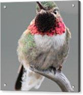 Broad-tailed Hummingbird Acrylic Print