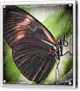 Brush-footed Butterfly Acrylic Print