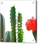 Cactus Plants Acrylic Print