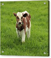 Calf In A Pasture Acrylic Print