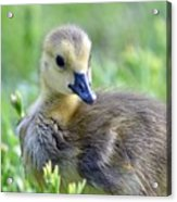 Canadian Goose Chick Acrylic Print