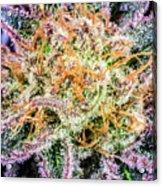 Cannabis Varieties Acrylic Print