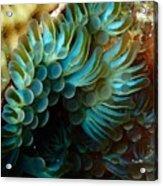 Carpet Anemones Acrylic Print