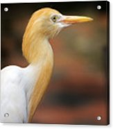 Cattle Egret Acrylic Print