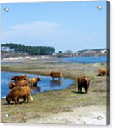Cattle Scottish Highlanders, Zuid Kennemerland, Netherlands Acrylic Print