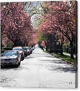 Cherry Blossom In Vancouver City Acrylic Print