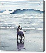 Chihuahua At The Beach Acrylic Print