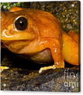 Chilean Tomato Frog Acrylic Print