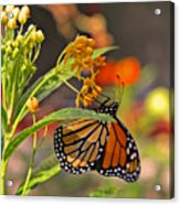 Clinging Butterfly Acrylic Print