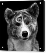 Closeup Portrait Of Akita Inu Dog On Isolated Black Background Acrylic Print