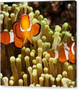 Clown Anemonefish Acrylic Print